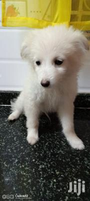 Baby Male Purebred Japanese Spitz | Dogs & Puppies for sale in Mombasa, Tudor
