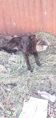 Young Male Mixed Breed German Shepherd Dog | Dogs & Puppies for sale in Machakos, Syokimau/Mulolongo