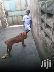 Young Male Purebred Boerboel | Dogs & Puppies for sale in Kisumu, Kondele