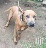 Rhodesian Ridgeback | Dogs & Puppies for sale in Machakos, Athi River