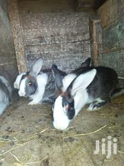Rabbits For Sale | Livestock & Poultry for sale in Nakuru, Menengai West