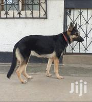 Adult Female Purebred German Shepherd Dog | Dogs & Puppies for sale in Mombasa, Port Reitz
