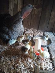 Turkey Poults(Chicks) On SALE! | Livestock & Poultry for sale in Nyeri, Karatina Town