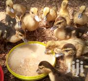 Two Months Old Ducks | Livestock & Poultry for sale in Nairobi, Komarock