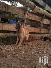 Young Female Purebred Belgian Malinois | Dogs & Puppies for sale in Machakos, Kathiani Central