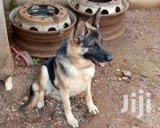 Young Female Purebred German Shepherd Dog | Dogs & Puppies for sale in Kiambu, Ruiru