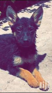 German Shepherd Puppies For Sale. | Dogs & Puppies for sale in Nairobi, Ruai
