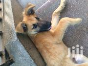 Young Male Mixed Breed German Shepherd Dog | Dogs & Puppies for sale in Nairobi, Kasarani