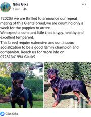 Young Male Purebred Rottweiler | Dogs & Puppies for sale in Nairobi, Kawangware