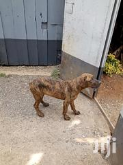 Young Male Purebred Boerboel | Dogs & Puppies for sale in Nairobi, Roysambu