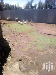 Goose | Livestock & Poultry for sale in Nakuru, Elburgon