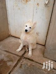 Young Male Purebred | Dogs & Puppies for sale in Nairobi, Karen