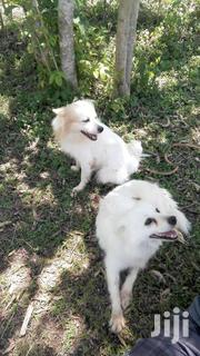German Spitz | Dogs & Puppies for sale in Siaya, Siaya Township