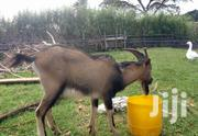 Dairy He-goat | Livestock & Poultry for sale in Nandi, Ol'Lessos