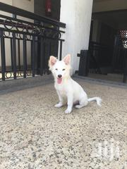 Young Male Purebred Japanese Spitz | Dogs & Puppies for sale in Kajiado, Ongata Rongai