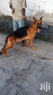 Adult Male Purebred German Shepherd Dog | Dogs & Puppies for sale in Mombasa, Bamburi