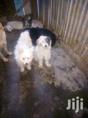 Adult Female Purebred Maltese | Dogs & Puppies for sale in Nairobi, Kahawa