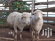 Best Pure Merino Rams For Sale | Livestock & Poultry for sale in Baringo, Koibatek