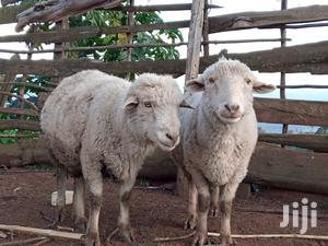 Best Pure Merino Rams For Sale