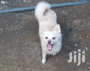 Young Male Purebred Japanese Spitz | Dogs & Puppies for sale in Nairobi, Kasarani