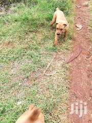 Baby Female Purebred Boerboel | Dogs & Puppies for sale in Nairobi, Nairobi Central