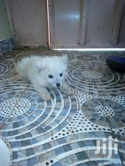 Baby Male Mixed Breed Japanese Spitz | Dogs & Puppies for sale in Kajiado, Ongata Rongai