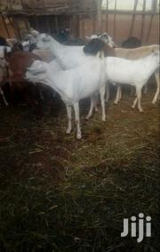 Goat And Sheep Different Sizes   Livestock & Poultry for sale in Kiambu, Juja
