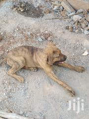 Young Male Purebred Boerboel | Dogs & Puppies for sale in Uasin Gishu, Kapsaos (Turbo)