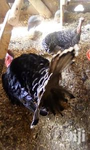 Mature Turkeys For Sale | Livestock & Poultry for sale in Nakuru, Lanet/Umoja
