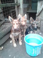 Young Male Mixed Breed German Shepherd Dog | Dogs & Puppies for sale in Kajiado, Ngong