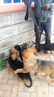 Vision Dog Trainers | Dogs & Puppies for sale in Kajiado, Kitengela