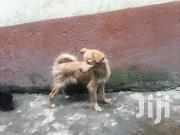 Baby Female Purebred Jack Russell Terrier | Dogs & Puppies for sale in Nairobi, Mwiki