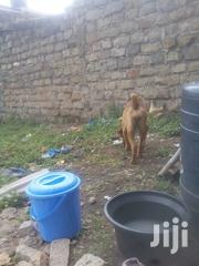 Young Female Purebred Boerboel | Dogs & Puppies for sale in Narok, Narok Town