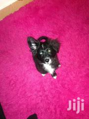 Cute Black Chiwawa  3months Old | Dogs & Puppies for sale in Nairobi, Nyayo Highrise