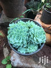 Very Cute And Easy To Maintain Plants | Garden for sale in Nairobi, Kasarani