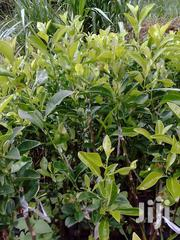 Oranges Seedlings | Feeds, Supplements & Seeds for sale in Murang'a, Ruchu
