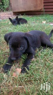 Puppies | Dogs & Puppies for sale in Kiambu, Gitaru