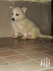 Young Female Mixed Breed Japanese Spitz | Dogs & Puppies for sale in Kiambu, Uthiru