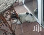 Young Male Purebred Pomeranian | Dogs & Puppies for sale in Mombasa, Mkomani