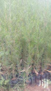 Exotic And Indigenous Tree Seedlings | Feeds, Supplements & Seeds for sale in Kiambu, Limuru East