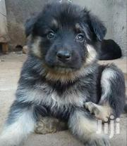 Baby Male Purebred German Shepherd Dog | Dogs & Puppies for sale in Kisumu, Central Kisumu