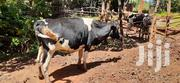 Dairy Cow For Sale | Other Animals for sale in Nyeri, Kamakwa/Mukaro