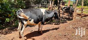 Dairy Cow For Sale