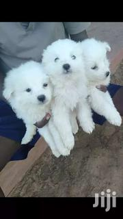 Japanese Pups | Dogs & Puppies for sale in Kiambu, Ndenderu