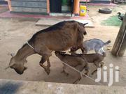 Dairy Goat | Livestock & Poultry for sale in Embu, Mbeti South