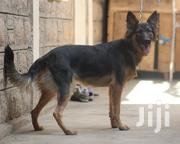 Young Female Purebred German Shepherd Dog   Dogs & Puppies for sale in Nairobi, Zimmerman