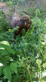 Sell Of A He Goat   Livestock & Poultry for sale in Kitui, Matinyani