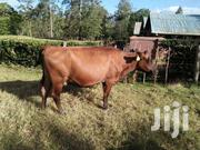 Good Cow For Sell   Livestock & Poultry for sale in Trans-Nzoia, Sitatunga
