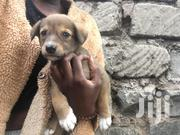 Baby Male Mixed Breed | Dogs & Puppies for sale in Nairobi, Imara Daima