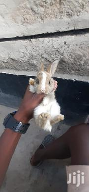 Rabbits For Sale | Livestock & Poultry for sale in Nairobi, Ruai